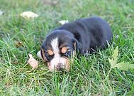 2020-09-15 Beagles F2 5 Maggie Buddy.jpg