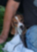 2019-09-30 Beagle Lucy.JPG