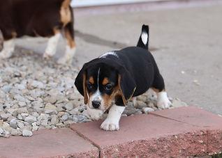 2021-06-01 Beagles M3 4 Camo Buddy (65).