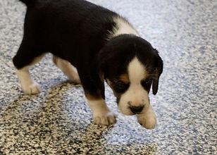 2020-11-25 Beagles M3989 Sadie Buddy z (
