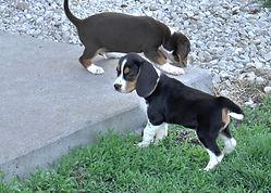 2020-05-06 Beagles F5969 2 Camo Buddy (1