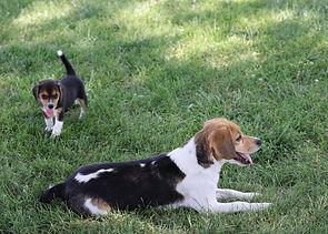 2021-06-19 Beagles Willow Buddy (40).jpg