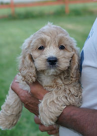ST Cockapoo buff 9.JPG