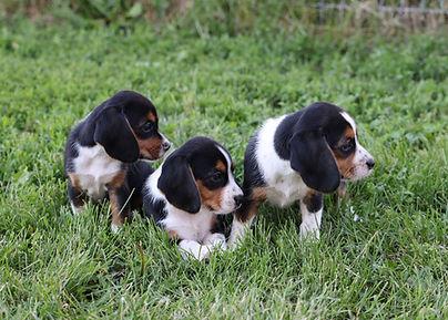 2021-06-02 Beagles Females 2 Camo Buddy