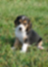 2019-09-02 Beagle 3499_1.JPG