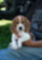 2019-09-30 Beagle M 3494 Lucy.JPG