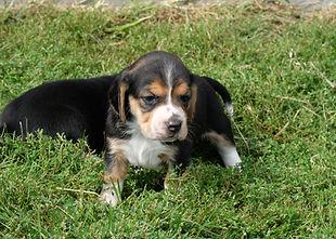 2020-09-27 Beagles F1 5 Maggie Buddy (16