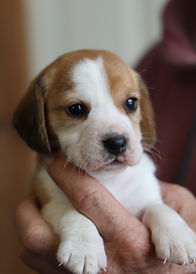 2021-01-01 Beagles F3991.jpg