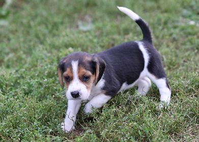 2021-09-09 Beagles F2861 2 Penny Batman (40).jpg