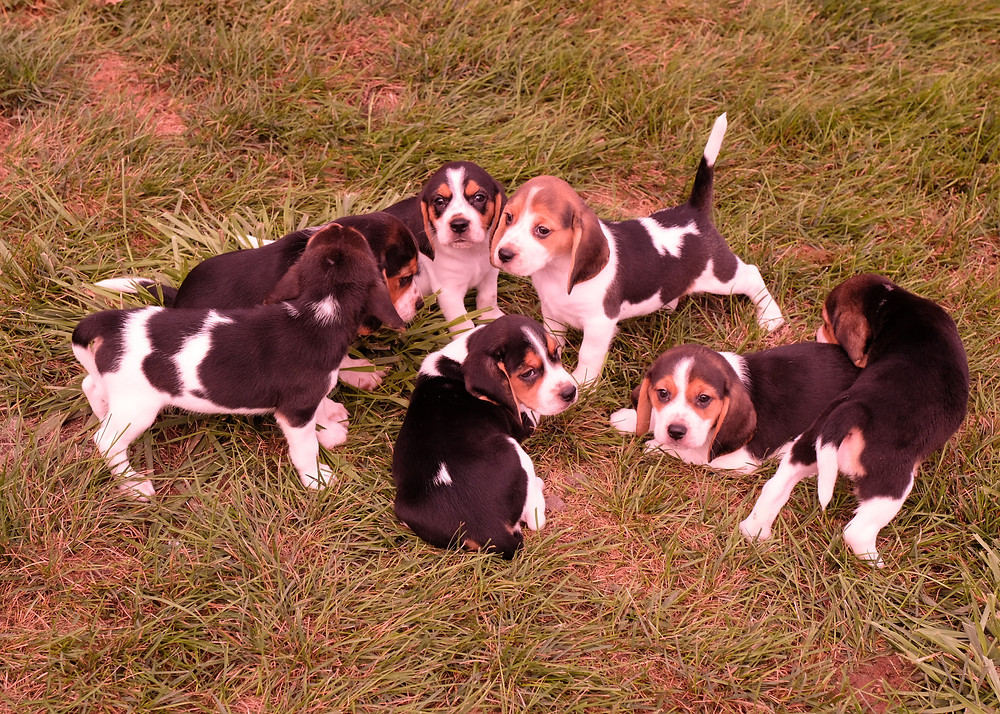 Example of tri-color Beagles