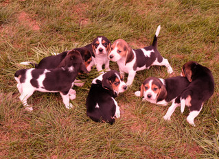 4 Litters of Beagle Puppies for Sale