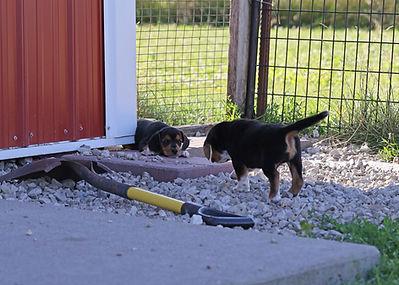 2021-06-23 Beagles Willow Buddy (279).jpg
