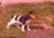 Beagles F 344_1.JPG