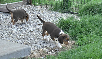 2020-05-06 Beagles F5972Camo Buddy (4)_2