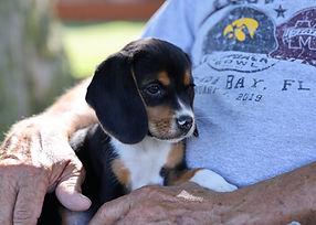 2021-06-13 Beagles Pixie Camo Buddy (22)