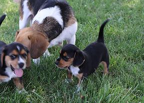 2021-06-19 Beagles 7 Willow Buddy (70).jpg