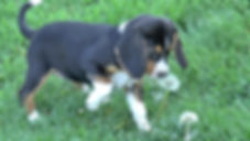 2020-05-06 Beagles F5976 Camo Buddy (11)