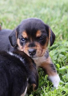 2021-06-01 Beagles F2 4  Willow Buddy (1