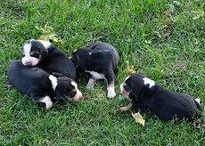 2020-09-15 Beagles Maggie 1.jpg
