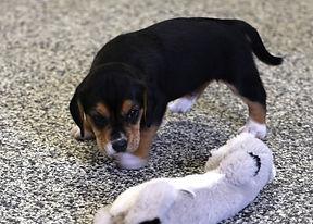 2021-03-10 Beagles Skye Buddy (7).jpg