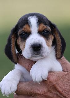 2021-09-09 Beagles M2842 1 Penny Batman (52).jpg