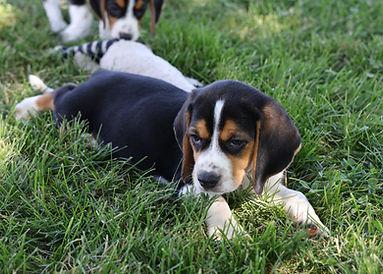 2021-06-13 Beagles M2856 Camo Buddy (22)