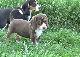 2020-05-06 Beagles M5974 Camo Buddy (12)