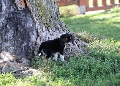 2021-06-13 Beagles Pixie Camo Buddy (30)