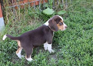 2021-06-02 Beagles M3 4 Camo Buddy (21).