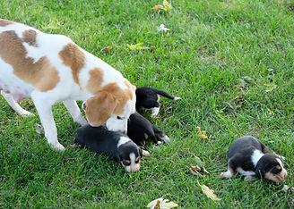 2020-09-15 Beagle Maggie 2.jpg