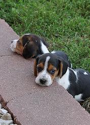 2021-09-09 Beagles 15 Penny Batman (226).jpg