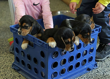 2021-03-13 Basket of Beagles Skye Buddy