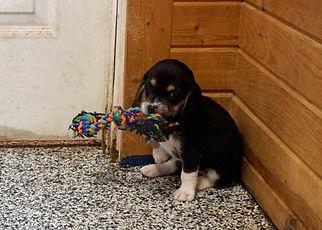 2020-11-25 Beagles F4739 4 Sadie Buddy z