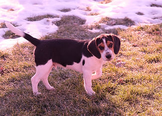 2018-12-05 Beagles Fred Willow.JPG
