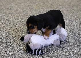 2021-03-10 Beagles Skye Buddy (1).jpg