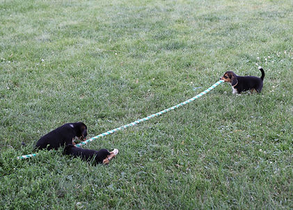 2021-06-19 Beagles 2 Willow Buddy (5).jpg