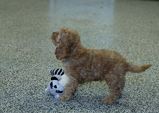 ST Cockapoo M 3071 10 - Copy.JPG