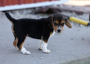 2021-06-23 Beagles Willow Buddy (195).jpg
