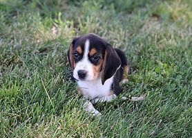 2021-06-13 Beagles F2855 Camo Buddy (11)