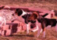2018-12-05 Beagles Fred Skye Willow 4Rac