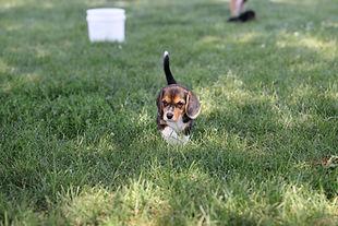 2021-06-19 Beagles Willow Buddy (80).JPG