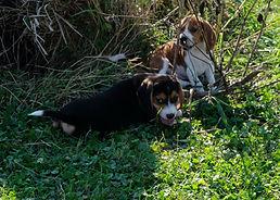 2019-09-30 Beagle M 3497 2 Maggie.JPG