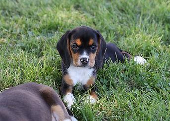 2021-06-13 Beagles Pixie Camo Buddy (43)