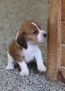2021-01-09 Beagles M3996 5 Lucy Batman(6