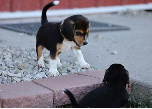 2021-06-23 Beagles Willow Buddy (187).jpg