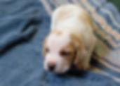 2020-05-07 Beagles M5979 Penny.jpg
