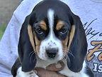 2020-05-06 Beagles F5969 Camo Buddy (1)_