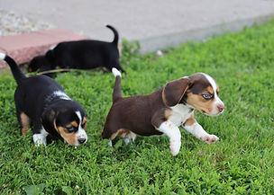 2021-06-01 Beagles M 1 2 Camo Buddy (10)