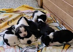 2020-03-21 Beagles Sadie Litter Males.JP