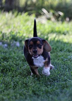 2021-06-23 Beagles Willow Buddy (168).jpg